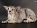 Кошки, котята Восточная короткошерстная, цена 1500 Грн., Фото