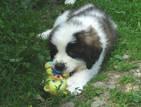 Собаки, щенки Сторожевая, цена 2500 Грн., Фото