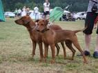 Собаки, щенята Пінчер, ціна 10 Грн., Фото