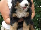 Собаки, щенки Бернская горная собака, цена 8000 Грн., Фото