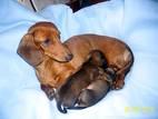 Собаки, щенки Гладкошерстная кроличья такса, цена 3000 Грн., Фото
