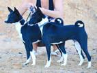 Собаки, щенята Басенджі, ціна 100 Грн., Фото