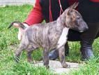 Собаки, щенята Мініатюрний бультер'єр, ціна 18000 Грн., Фото