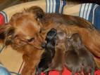 Собаки, щенки Русский длинношерстный тойтерьер, цена 300 Грн., Фото