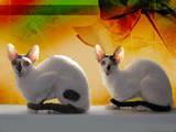 Кошки, котята Корниш-рекс, цена 5000 Грн., Фото