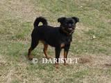 Собаки, щенки Брабантский гриффон, цена 10000 Грн., Фото