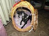 Кошки, котята Корниш-рекс, цена 2400 Грн., Фото