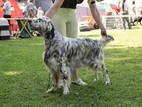 Собаки, щенята Англійський сетер, ціна 2500 Грн., Фото