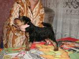 Собаки, щенята Вельштер'єр, ціна 2200 Грн., Фото