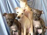Собаки, щенята Левретка, ціна 12345 Грн., Фото