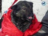 Собаки, щенята Бельгійська вівчарка (Малінуа), ціна 10 Грн., Фото