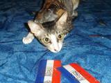 Кошки, котята Корниш-рекс, цена 4000 Грн., Фото