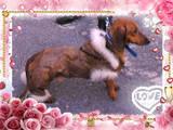 Собаки, щенята Гладкошерста мініатюрна такса, ціна 1000 Грн., Фото