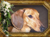 Собаки, щенки Гладкошерстная миниатюрная такса, цена 1000 Грн., Фото