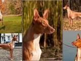 Собаки, щенята Фараонова собака, ціна 15000 Грн., Фото