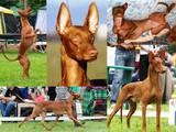 Собаки, щенки Фараонова собака, цена 15000 Грн., Фото