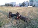 Собаки, щенята Різеншнауцер, Фото