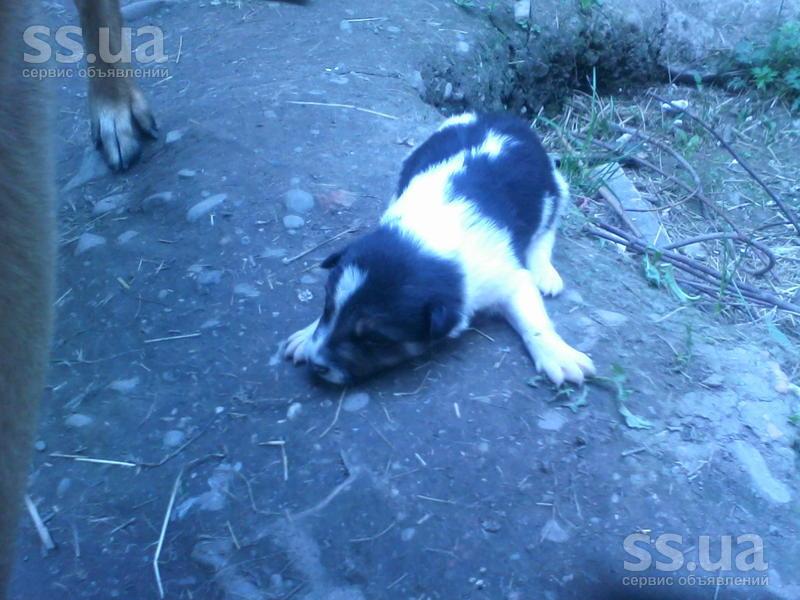 SS.ua: Продам щенка смесь (немецкой овчарки и лайки), Ціна 350 Грн.