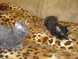 Кішки, кошенята Корніш-рекс, ціна 1500 Грн., Фото
