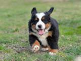 Собаки, щенки Бернская горная собака, цена 2 Грн., Фото