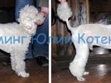 Собаки, щенята Послуги перукаря, миття, ціна 250 Грн., Фото
