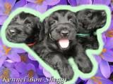 Собаки, щенки Ризеншнауцер, цена 2500 Грн., Фото