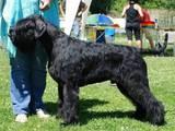 Собаки, щенята Різеншнауцер, ціна 6500 Грн., Фото