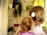 Собаки, щенята Гладкошерста мініатюрна такса, ціна 3600 Грн., Фото