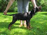 Собаки, щенки Сеттер-гордон, цена 3500 Грн., Фото