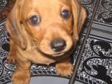 Собаки, щенки Гладкошерстная миниатюрная такса, цена 2300 Грн., Фото
