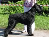 Собаки, щенки Ризеншнауцер, цена 1 Грн., Фото
