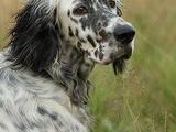 Собаки, щенята Англійський сетер, ціна 100 Грн., Фото