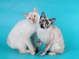 Кішки, кошенята Меконгській бобтейл, ціна 5000 Грн., Фото