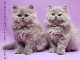 Кішки, кошенята Highland Fold, ціна 3200 Грн., Фото