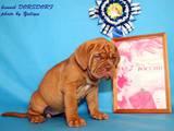 Собаки, щенята Бордоський дог, ціна 17000 Грн., Фото