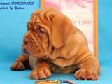 Собаки, щенки Бордосский дог, цена 17000 Грн., Фото