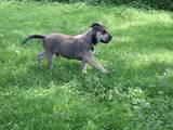 Собаки, щенки Испанский мастиф, цена 3200 Грн., Фото