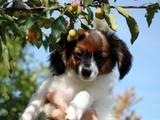 Собаки, щенята Фален, ціна 500 Грн., Фото