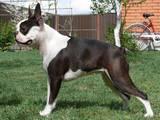 Собаки, щенки Бостонтерьер, цена 11000 Грн., Фото