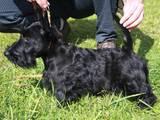 Собаки, щенята Скотчтерьер, ціна 11000 Грн., Фото