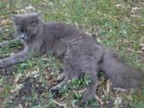 Кошки, котята Нeбелунг, цена 1 Грн., Фото