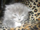 Кошки, котята Хайленд Фолд, цена 1000 Грн., Фото