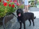 Собаки, щенята Малий пудель, ціна 5 Грн., Фото