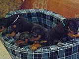 Собаки, щенята Пінчер, ціна 1300 Грн., Фото