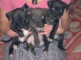 Собаки, щенята Стаффордширський бультер'єр, ціна 900 Грн., Фото