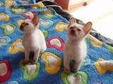 Кошки, котята Тонкинез, цена 4000 Грн., Фото