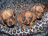 Собаки, щенята Гладкошерста кроляча такса, ціна 700 Грн., Фото