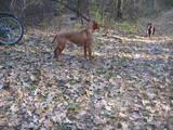 Собаки, щенки Венгерская выжла, цена 16000 Грн., Фото