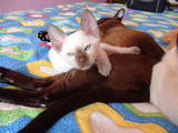 Кошки, котята Тонкинез, цена 1600 Грн., Фото