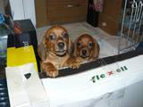 Собаки, щенята Жорсткошерста мініатюрна такса, ціна 600 Грн., Фото
